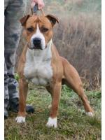 American Staffordshire Terrier, amstaff - Bred-by, Mojito