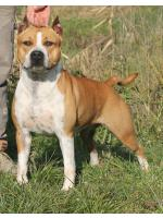American Staffordshire Terrier Flora