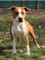 American Staffordshire Terrier Thelma (AtaxiaClear)