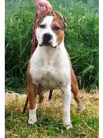 American Staffordshire Terrier Blaster (Ataxia Clear By Parental)