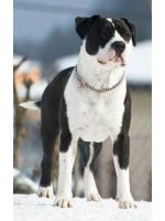 American Staffordshire Terrier, amstaff - Bred-by, Obelix (Ataxia Clear By Parental)