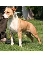 American Staffordshire Terrier, amstaff - Bred-by, India (Ataxia Clear)