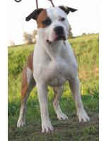 American Staffordshire Terrier, amstaff - Bred-by, Blues