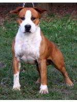 American Staffordshire Terrier, amstaff - Males, Manny (Ataxia Carrier)