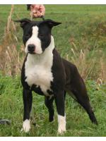 American Staffordshire Terrier Wendy