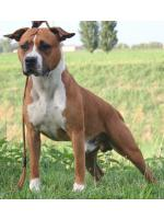 American Staffordshire Terrier River