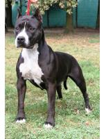 American Staffordshire Terrier Maffin (Ataxia Clear)