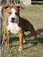 American Staffordshire Terrier, amstaff - Bred-by, Sonny (Ataxia Clear By Parental)