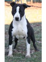 American Staffordshire Terrier Nevada (Ataxia Clear By Parental)