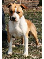 American Staffordshire Terrier, amstaff - Bred-by, Toky (Ataxia Clear)