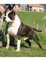 American Staffordshire Terrier, amstaff - Bred-by, Kimbo (Ataxia Clear By Parental)
