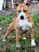 American Staffordshire Terrier, amstaff - Femmine, Vaiana (Ataxia Clear By Parental)