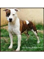 American Staffordshire Terrier, amstaff - Bred-by, Caio(Ataxia Clear By Parental)