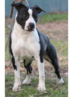 American Staffordshire Terrier, amstaff - Bred-by, Big Mama (Ataxia Clear By Parental)
