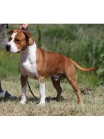 American Staffordshire Terrier, amstaff - Bred-by, Red (Ataxia Carrier)