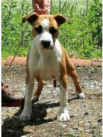 American Staffordshire Terrier, amstaff - Bred-by, Sienna