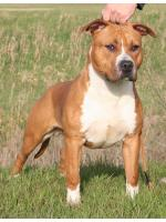 American Staffordshire Terrier, amstaff - Bred-by, Chimay (Ataxia Clear by Parental) HD-A ED-0