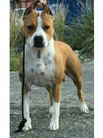 American Staffordshire Terrier joy
