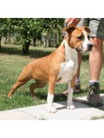 American Staffordshire Terrier, amstaff - Bred-by, Nikita (Ataxia Clear) HD-B ED-0 Cardio Normal