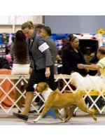 American Staffordshire Terrier, amstaff - Champions, Speed