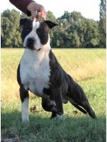 American Staffordshire Terrier, amstaff - Bred-by, Tyson (Ataxia Clear by Parental)