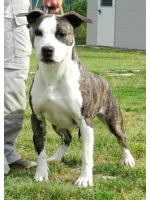 American Staffordshire Terrier Iris