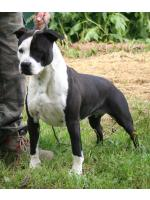 American Staffordshire Terrier Megan (Ataxia Carrier)