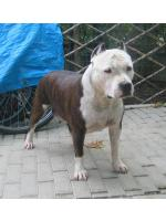 American Staffordshire Terrier Cash