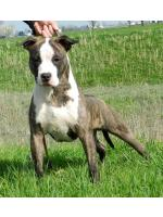 American Staffordshire Terrier Lucky