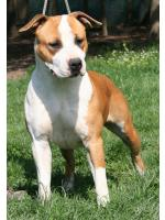 American Staffordshire Terrier Sun/Fergie  (Ataxia Clear By Parental)