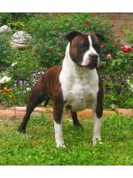 American Staffordshire Terrier, amstaff - Maschi, Lion (Ataxia Clear by Parental)