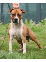 American Staffordshire Terrier, amstaff - Bred-by, Simba (Ataxia Clear By Parental)