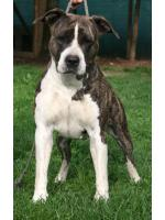 American Staffordshire Terrier Mg (Ataxia Clear)