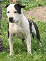 American Staffordshire Terrier Luke (Ataxia Clear)