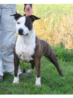 American Staffordshire Terrier, amstaff - Bred-by, Bonny (Ataxia Clear By Parental)
