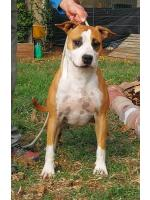 American Staffordshire Terrier Trudy