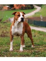 American Staffordshire Terrier Coffee