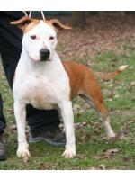 American Staffordshire Terrier, amstaff - Bred-by, Minnie (Ataxia Clear By Parental)