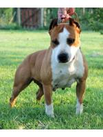 American Staffordshire Terrier, amstaff - Bred-by, Lola (Ataxia Clear) HD-B ED-0 Cardio Normal