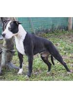 American Staffordshire Terrier Zuma (Ataxia Clear By Parental)