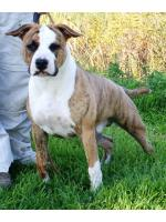 American Staffordshire Terrier, amstaff - Bred-by, Chico (Ataxia Clear By Parental)
