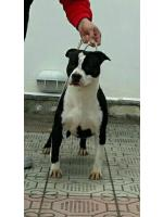 American Staffordshire Terrier, amstaff - Bred-by, Raja (Ataxia Clear)
