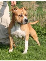 American Staffordshire Terrier Jago (Ataxia Clear By Parental)