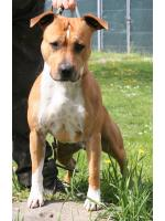 American Staffordshire Terrier, amstaff - Bred-by, Peter (ataxia Clear By Parental)