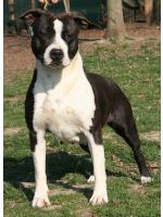 American Staffordshire Terrier Queen (Ataxia Clear)