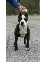 American Staffordshire Terrier, amstaff - Bred-by, Shana (Ataxia Clear By Parental)