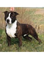 American Staffordshire Terrier, amstaff - Bred-by, Bronx (ataxia Clear by Parental)