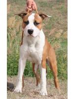 American Staffordshire Terrier Max