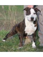 American Staffordshire Terrier, amstaff - Bred-by, D'artagnan (Ataxia Clear by Parental)