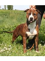 American Staffordshire Terrier Schiva (Ataxia Carrier)